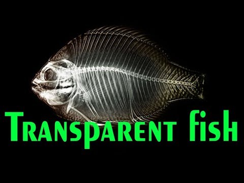 Some Cool Facts About X Ray Fish