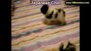 Japanese Chin, Puppies, For, Sale, In, Jacksonville,florida, Fl,tallahassee,gainesville,