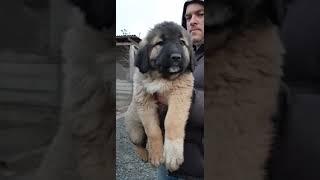 Щенок кавказца Гера , 55 дней Продажа ! (купить щенка)