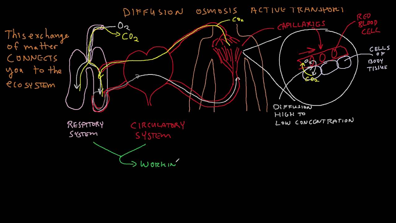 The Body Systems And Homeostasis Youtube