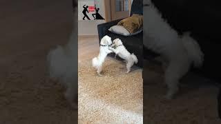 Maltese dogs dancing Tango