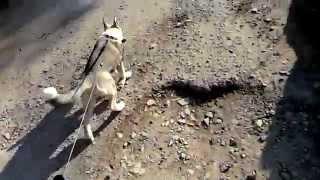 Сибирская ездовая Хаски
