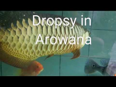 TREATMENT FOR DROPSY IN AROWANA AND OTHER TROPICAL FISH OR GOLD FISH