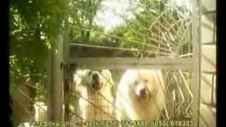 Подгалянская овчарка и Большая пиренейская собака1.avi