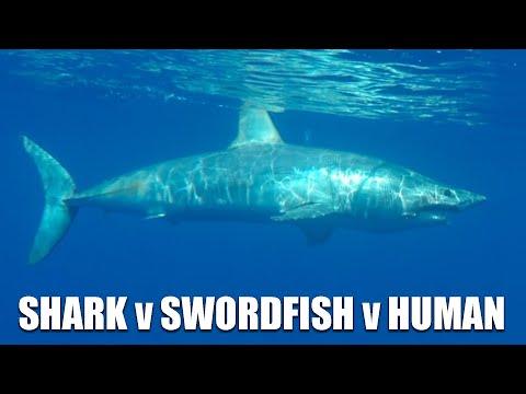 Large Shark Attacks Swordfish