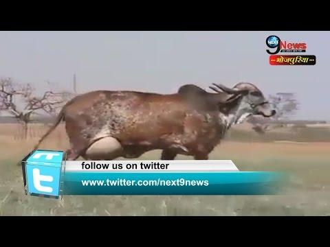 एक ऐसी अनोखी गाय, जिसको जानकर हक्का बक्का लोग | The Unique Breed Of Cow Found