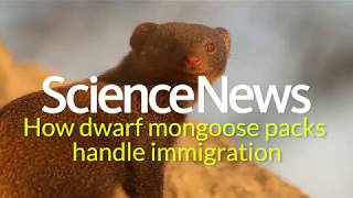 How dwarf mongoose packs handle immigration   Science News