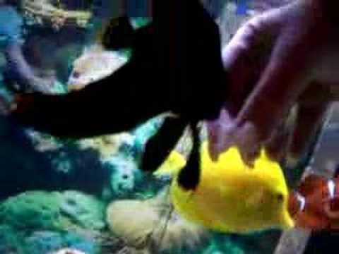 Handfeeding Pinnatus Batfish