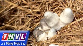 THVL | Nông nghiệp bền vững – Kỳ 2 tháng 9/2016: Phát triển bền vững nghề trồng nấm rơm