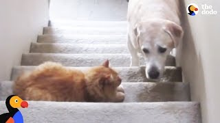 Dogs Who Are Afraid Of Cats Compilation | The Dodo