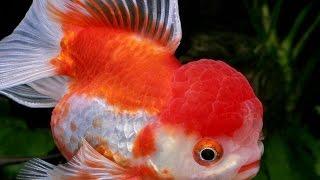 Золотые рыбки, платидорасы, гиринохейлус и другие аквариумные рыбки
