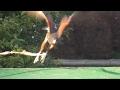 モモアカノスリ Harris's Hawk  フライトの練習