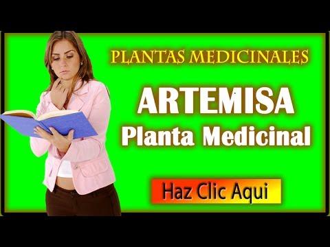 Artemisa Planta Medicinal y Para Que Sirve La Artemisa
