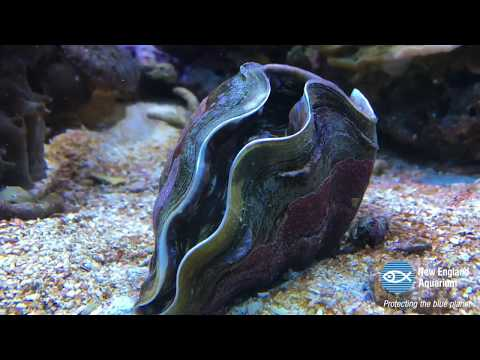 Giant Clam Opens Up