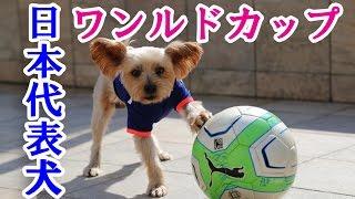 日本代表犬ヨークシャーテリアの天才サッカー犬ことミッキー! 今回は練...