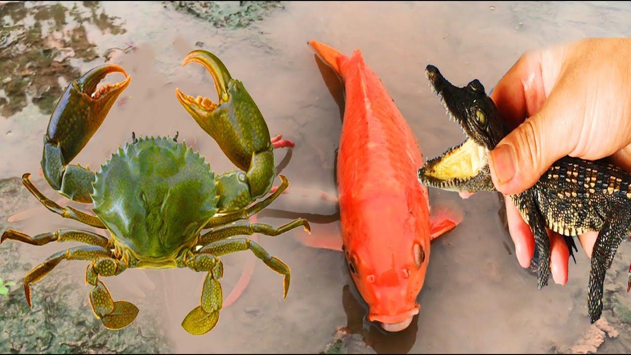 Cá Sấu Cảnh, Cá Chép Vàng, Cua Màu Sắc, Cá Lóc, Động Vật Dễ Thương