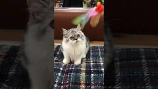 エキゾチックロングヘアーの可愛い遊び動画.