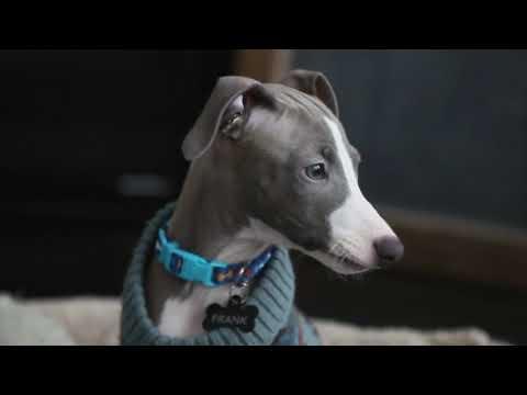 Italian Greyhound Puppy - Frank