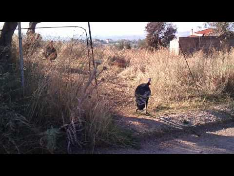 Stupid turkey dances against fence