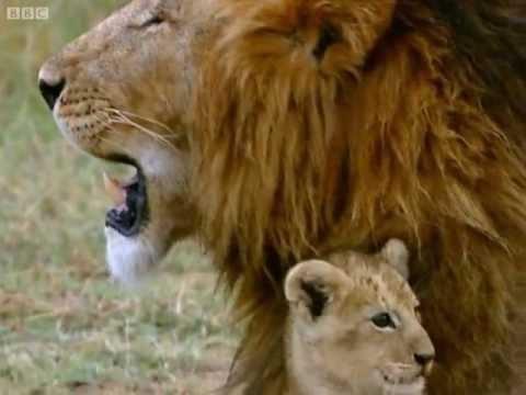 Practising my roar! - Little Big Cat - BBC