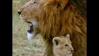 The pride are on the move, but Cumay the lion cub struggles to keep...