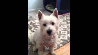 Talking Westie Asking For His Treat.