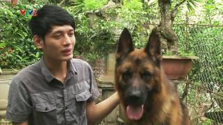Phóng Sự Trại Chó Becgie Đức Sơn Tây trên truyền hình- 0976.323.111
