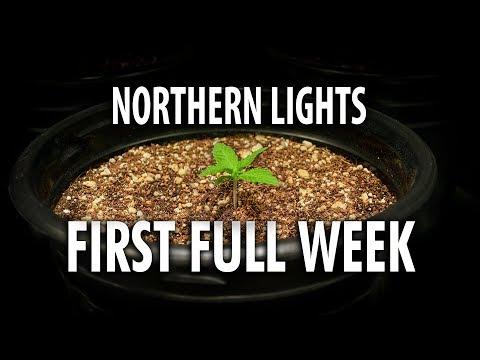Northern Lights Autoflower Week 1 – Legal Cannabis Grow