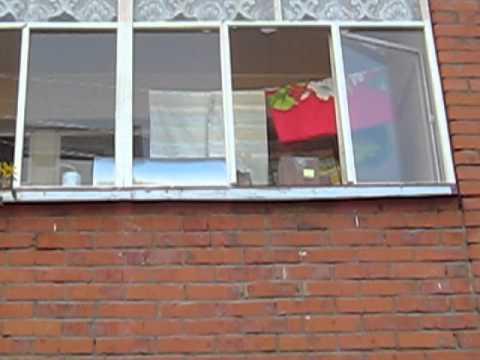 Шмели в Чебоксарах на балконе. bumblebees in cheboksary on t.