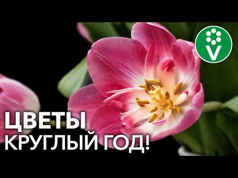 Вопрос: Когда сажать луковицы тюльпанов для выгонки на Новый Год?