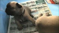 Ranskanbulldogin pennut 3 viikkoa 5 päivää.
