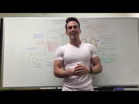 Stomach Anatomy | Location & Structure
