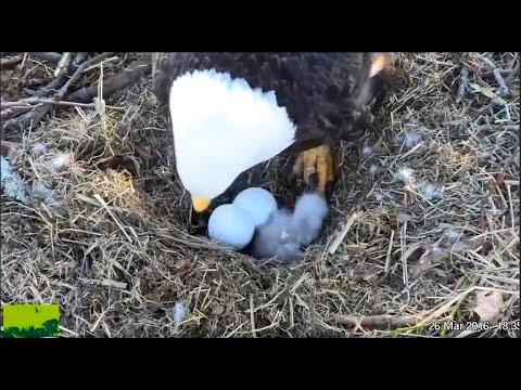 2 bald eagle chicks are born at Duke Farms