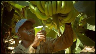 KRAV-märkta bananer – bra för dig, odlaren och miljön(, 2014-11-19T09:18:36.000Z)