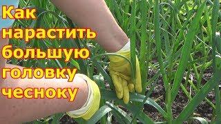видео Секреты крупного чеснока: обламывание стрелок и отгребание земли