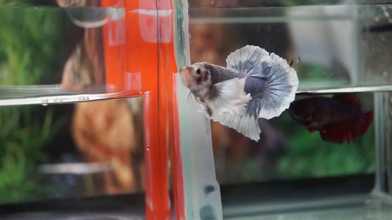 Live Betta Fish Female SMOKY BLUE SPECIAL 2 different EARS COLORS ...