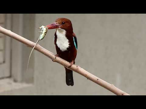 White-Throated Kingfisher Eating A Lizard - Birds Of Israel - FZ-80 - שלדג לבן-חזה אוכל לטאה