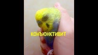 Красный глаз (конъюнктивит) у попугая, как лечить?