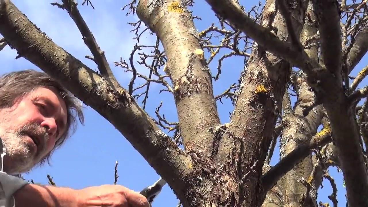 обрезка старых яблонь осенью