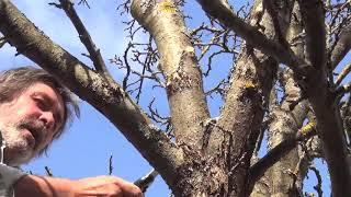 видео Как обрезать яблоню? Как проводить обрезку и в какое время!