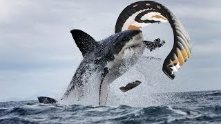 Great White Shark Attacks Kiteboarder