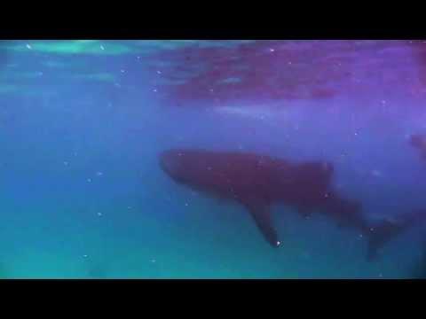whale sarks