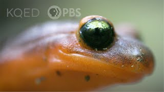 These Sneaky Ensatina Salamanders Are Heading For a Family Split | Deep Look