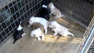 珍犬チベタン、テリアの1月の可愛い仔犬.