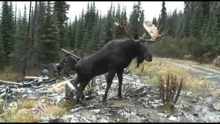 манок на лося)).flv(фото охота на лося., 2011-12-09T12:54:43.000Z)
