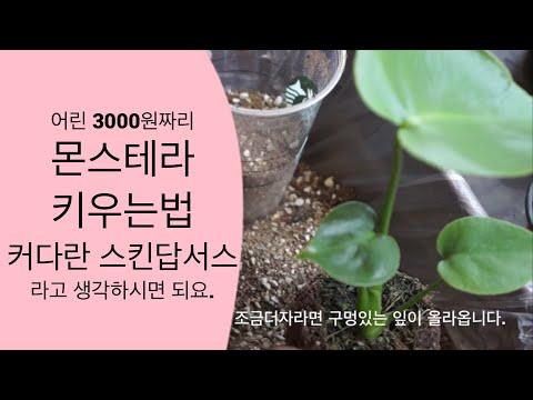 몬스테라 키우기   천남성과식물   몬스테라 번식