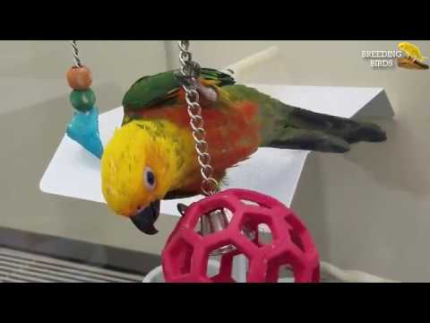 SUN CONURE PARROT PLAYING WITH RED BALL