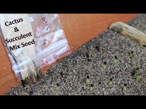 How To Grow Cactus Succulent From Seeds Hindi Urdu Youtube