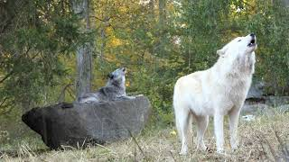 Nikai (front) and Zephyr are captive-born Canadian/Rocky Mountain g...