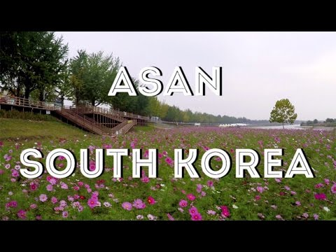 Travel in Korea: Asan Cosmos Field and Golden Tree Road 아산시